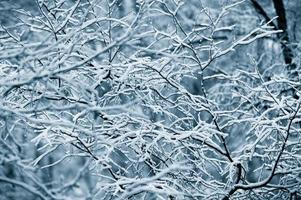 första snötäckta grenar
