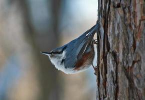 vild fågel natchatch på bakgrunden av en vinter skog.