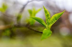 färska gröna vårblad och knoppar i naturligt ljus foto