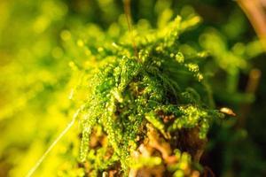 grön moss makro foto