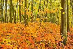 röda eklöv på träden i höstskogen.