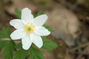 träanemon - anemone nemorosa (5) foto