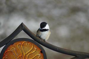 svartklädd chickadee på fågelmatare foto