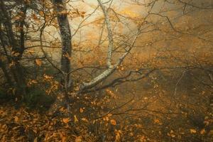 spår genom en mystisk mörk gammal skog i dimma. höst foto