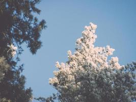 jul bakgrund av snöig skog, frostat trädtoppar på himlen.