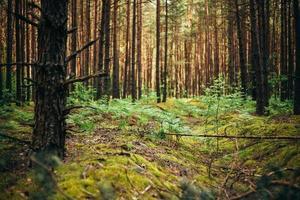 gamla världskrigets skyttegravar i skogen sedan andra världskriget foto