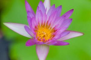 lila lotusblomma, Thailand