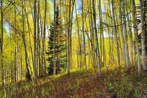skog av lång gul och grön asp under lövverk