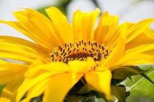 vacker gul solros foto