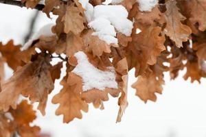 snö på ekblad. snötäckta höstlöv. foto