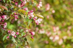 rosa blommor blommande äppelträd på våren parkerar