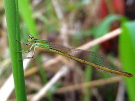 grön damselfly foto