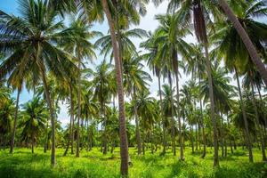 kokosnötpalmer plantage i Thailand foto