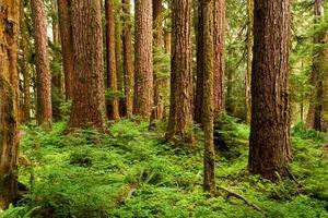 gammalt växande träd dyker upp ur det frodiga gröna skogsgolvet