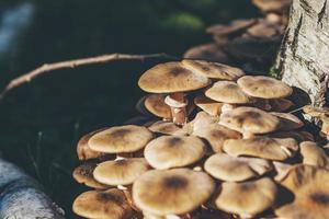 närbild av stor grupp svampar på trädstammen.