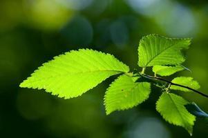 leafs foto