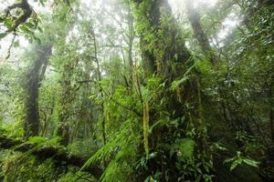 träd i regnskog vid doi-intanont nationalpark, chiangmai, tha foto