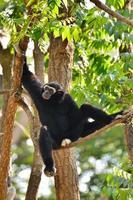 gibbon foto