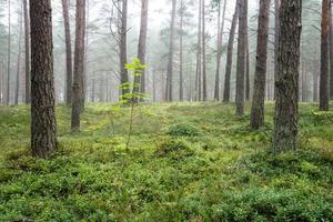dimmig morgon i skogen