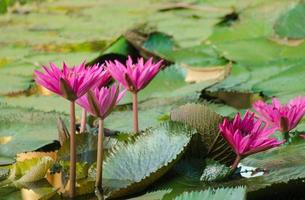 lotusblomma i dammen.