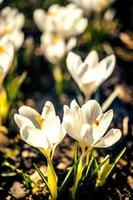 gula och lila krokusar foto