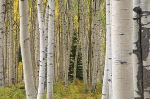 hösten aspens