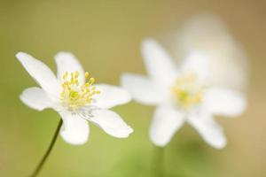 träanemon (anemone nemorosa) foto