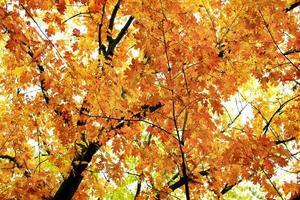 höstpark med gula träd