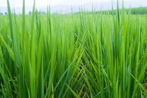 risfält i Chiang Mai, norra Thailand. foto