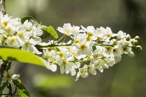 fågel-körsbärsträd med vita blommor i dagsljus foto
