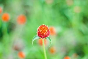 makro av röd blomma foto