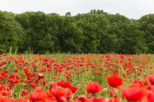 landskap tapet av röda blommor fält foto