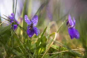 violer bland gröna blad täckta med dagg