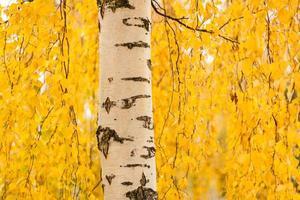 björkstam och levande gula löv