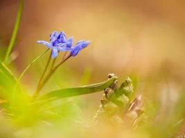 blå vårblommor foto