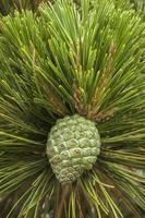 ny grön tall som växer på träd