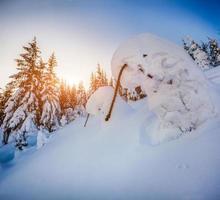 snötäckta små granar i bergskogen vid soluppgång
