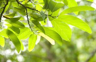 färska löv foto