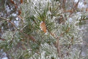 kvistar av furu-täckt frost foto