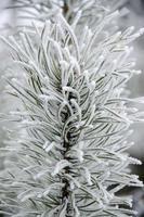 tallfilial i frostvintervit