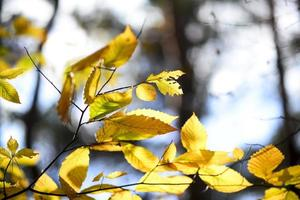 detaljer av gula höstlöv, bokehljus foto