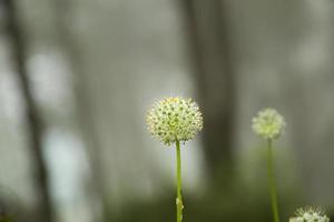 vita blommor.