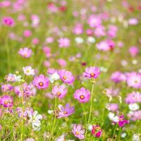 rosa kosmosblommor. foto