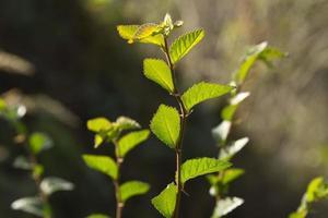färska löv
