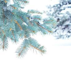 grenar av blå gran är täckta med snö foto
