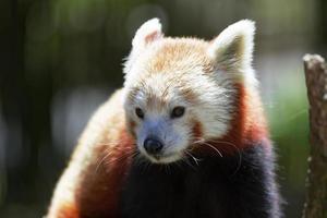 röd panda. foto