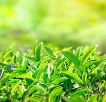 närbild av teblad. teplantager i Indien foto