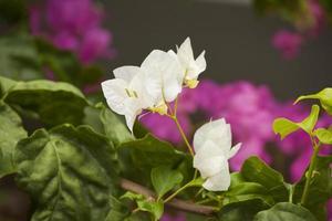fokuserade vita bougainvillea blommor med blured bakgrund och flashiga färger foto