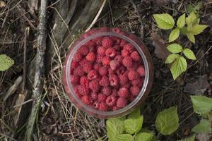 färska vilda hallonbär i en burk. foto