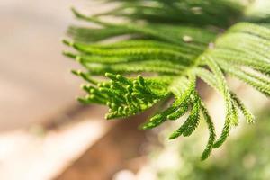 gröna tallgrenar foto